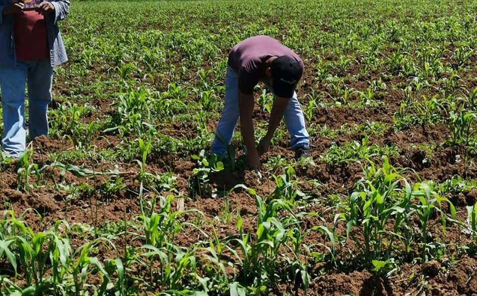 Multas hasta por 100 mil pesos por no retirar cosechas a tiempo en Altamira